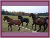 začlenění nového člena do stáda (Ponka, Borek, Nik)