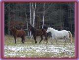 začlenění nového člena do stáda (Ponka, Nik a Shakira pozorují nového koně)