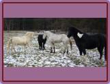 začlenění nového člena do stáda (Paloma, Borek, Tajfun a Normen)
