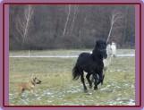 začlenění nového člena do stáda (Borek a Tajfun..ten pes je Cloe)